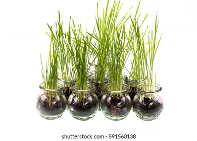 sprouted stems,young green wheat sprouts in a glass container