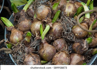 Tulip Seed Images Stock Photos Vectors Shutterstock