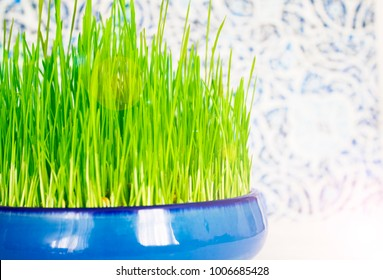 Sprouted wheat, as a symbol of the new year on the solar calendar. The Persian New Year and its symbols. The birth of nature, grass.