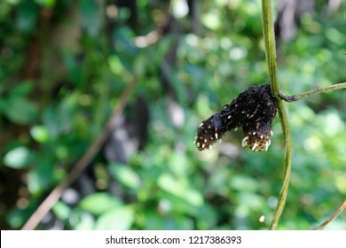 sprouted white yam (Dioscorea alata L.)tuber with its roots hanging on its stem, India, Odisha.common names include greater yam, Guyana arrowroot, ten-months or water yam, purple or winged yam.