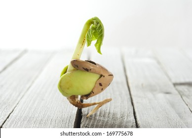 sprouting bean on rustic wooden