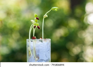 Sprouting of beans in glass with tissue paper in natural light outdoor