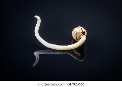 Sprouting cannabis seeds, root on a black background