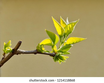 Sprouting Leaf in Spring