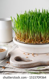 Sprouting Microgreens. Sprouting dish for green shoots. Seed Germination at home. Vegan and healthy eating concept. Germinated Wheat Micro greens. Sprouted grain. Growing sprouts