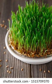 Sprouting Microgreens. Sprouting dish for green shoots. Seed Germination at home. Vegan and healthy eating concept. Germinated Wheat Micro greens. Sprouted grain. Growing sprouts. Natural food.