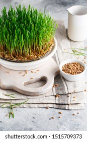 Sprouting Microgreens. Sprouting dish for green shoots. Seed Germination at home. Vegan and healthy eating concept. Germinated Wheat Micro greens. Sprouted wheatgrass grain. Growing sprouts