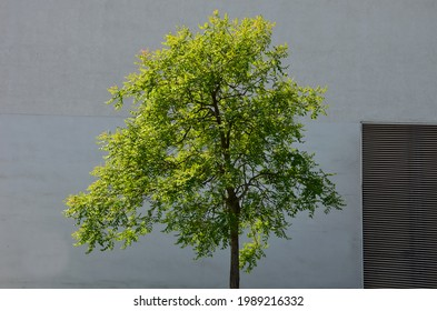 It sprouts bronze-pink, has a fresh green color in summer and turns fiery orange in autumn and then turns golden, hence the American name Golden Raintree.