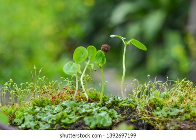 Sprouts are a form of asexual reproduction in which new organisms grow with one another. New organisms remain attached along with growth, separate from the parent organism only when ripe.