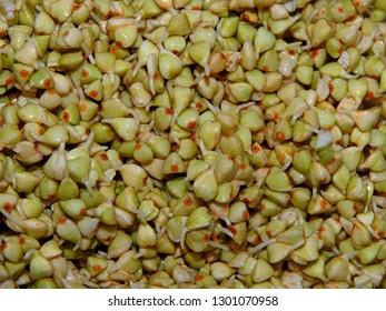 Sprouts of green buckwheat background pattern texture. Macro shot raw organic buckwheat plant. Vegan germinated sprouts, vegetarian cuisine. Healthy diet buckwheat porridge food. Fagopyrum esculentum