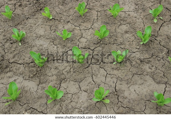 Sprouts of green salad. The dried up land in the garden in the garden. Young fresh greens.