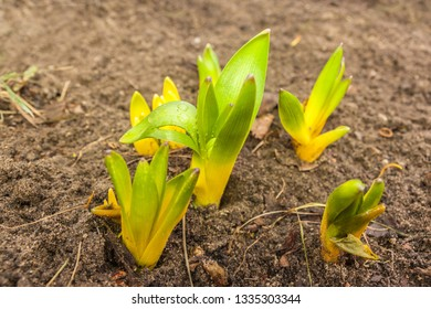 Sprouts of a group of hyacinths in early spring on a flower bed in garden