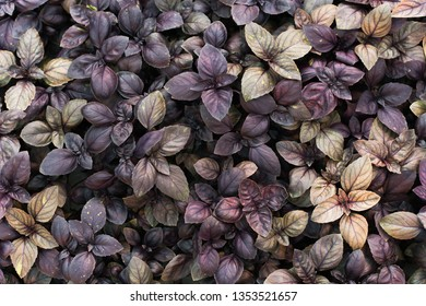 Sprouts purple basil in a greenhouse. Industrial production of greens, cabbage, lettuce, basil