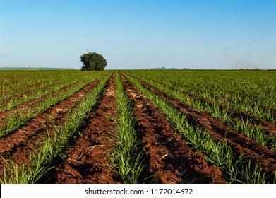Sprouts at sugarcane plantation