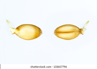 Sprouts of two wheat germs isolated on white background
