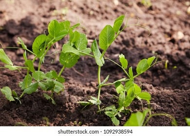 Sprouts of young peas grow on the bed. A patch with young green peas. young green peas plant in the soil