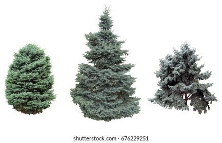 Spruce.