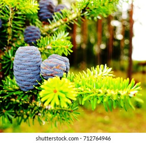 spruce  autumn  cone