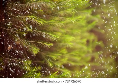Spruce background with snow