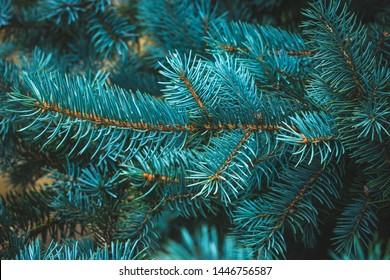 Spruce blue branch, evergreen, fir coniferous background. Frame of pine needles close-up. Pine-tree. Scotch fir. Green branches of fur tree. Christmas fir.