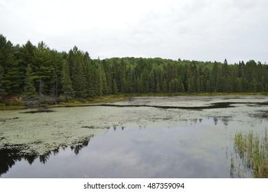 spruce bog Algonquin