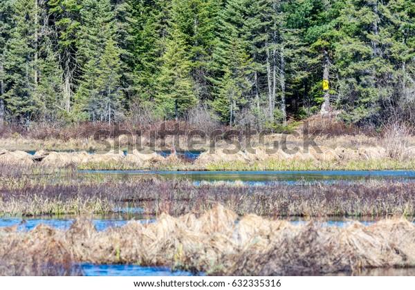 Spruce Bog Marsh Algonquin Park