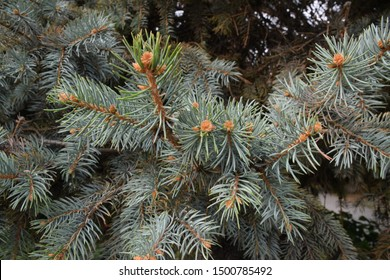 Spruce branch. Beautiful branch of spruce with needles. Christmas tree in nature. Silver blue spruce. Spruce close up.