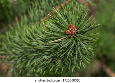 Spruce branch. Beautiful spruce branch with pine needles. Christmas tree in nature. Spruce green. Spruce closeup. Young sprouts of pine tree