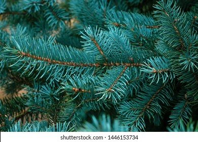 Spruce branch close-up. Green branches of fur tree. Christmas fir. Frame of blue pine branch. Coniferous needles close-up. Pine-tree background. Scotch fir.