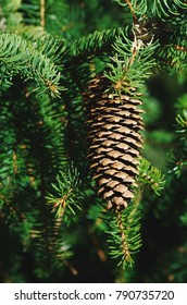 Spruce branch with cone ( Picea abies )