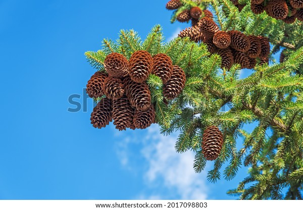 spruce-branch-hanging-cones-against-600w
