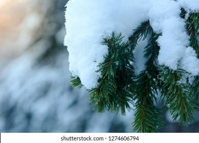 Spruce branch in snow