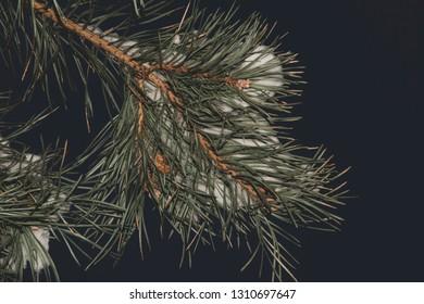 Spruce branch with snow on dark background.