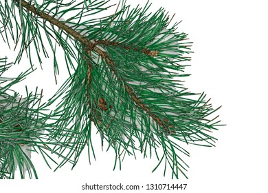 Spruce branch with snow on white background, isolated.