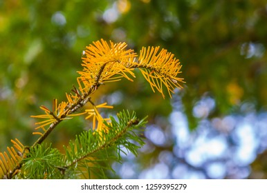 Spruce branch with yellowed needles on the background of green needles closeup in summe