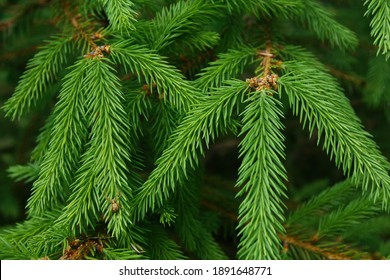 Spruce branches as a background, texture. New Year's backdrop, the source. High quality photo