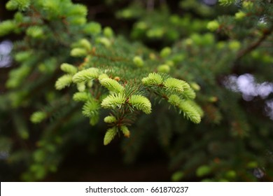 Spruce branches on a green background.The blue spruce, green spruce, white spruce. Picea Abies