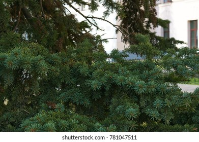 Spruce branches on a green background. Picea Abies