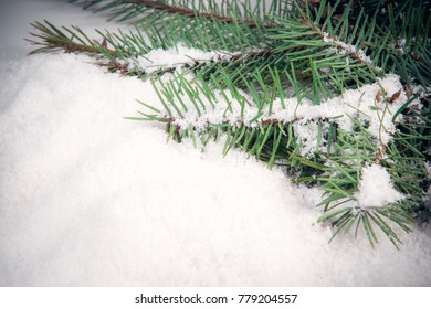 spruce branches on the snow