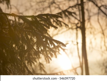 Spruce branches on sunrise. Image taken on a cold winter morning in Finland. Yellow glow.