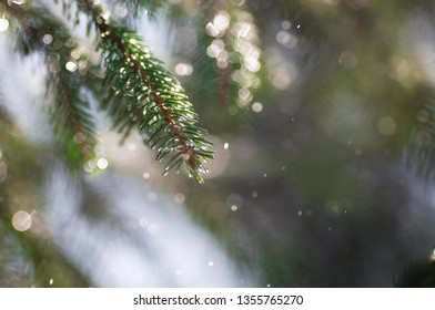 Spruce branches in the rain and in the sun for background or copy space for text. Moscow, June 2018