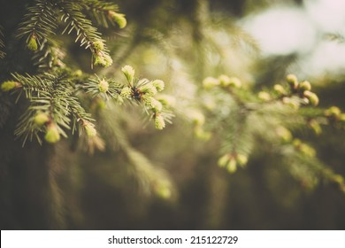 Spruce branches in the woods.