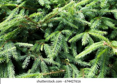 Spruce, forest, branches, greens, backgrounds