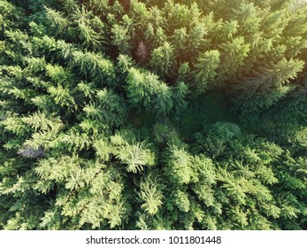 Spruce forest drone photo top view - Sunny forest aerial photo
