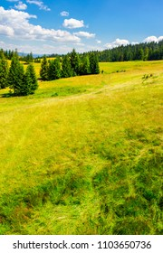 Spruce forest on a grassy slope. lovely summer scenery on a bright sunny day