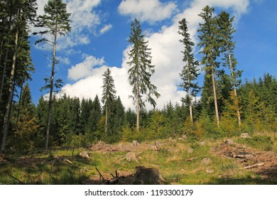 spruce forest partly eaten by bark beetle, Beskydy mountains, Czech Republic