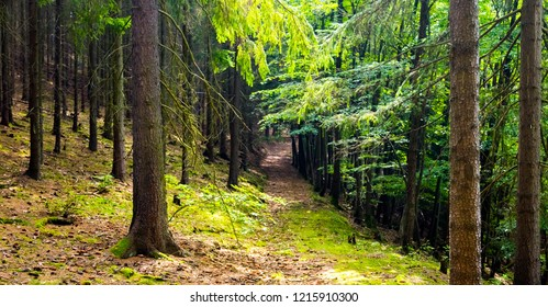 The spruce forest path with moss on ground