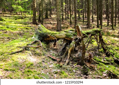 The spruce forest stump with grass on ground