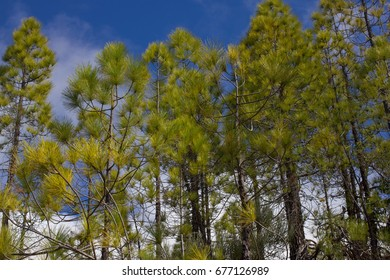 Spruce forest. Sustainable clear ecosystem. Pinus canariensis, Canary Island pine