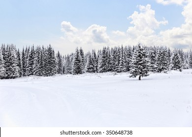 Spruce forest in winter.